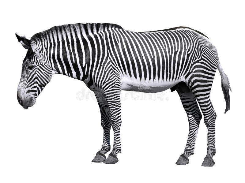 Geïsoleerden zebra van Grevy royalty-vrije stock fotografie