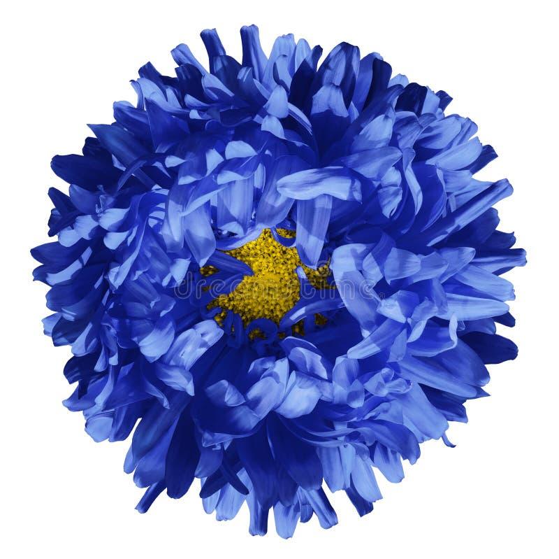 Geïsoleerdeo bloem heldere blauwe aster op een witte achtergrond Bloem voor ontwerp close-up stock fotografie