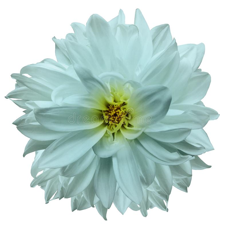 Geïsoleerdeo bloem turkooise dahlia op een witte achtergrond Bloem voor ontwerp close-up royalty-vrije stock foto