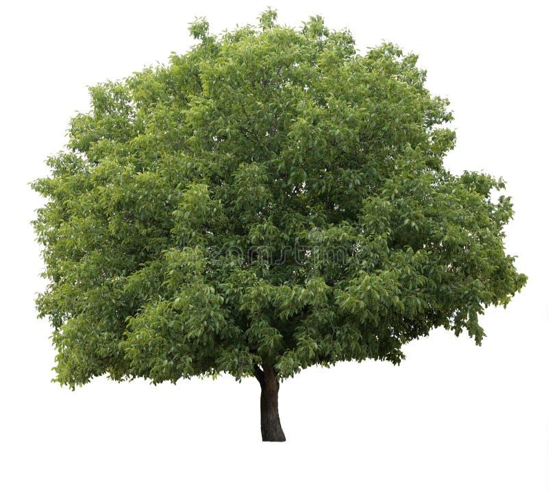 Geïsoleerdeo boom stock afbeeldingen