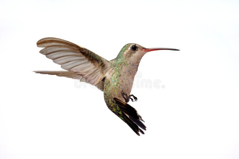 Geïsoleerdeo breed-Gefactureerde Kolibrie royalty-vrije stock afbeeldingen
