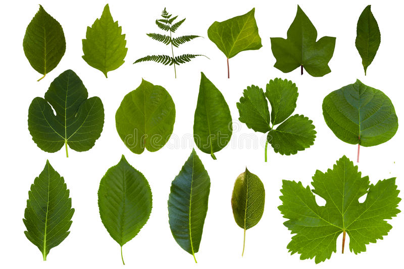 Geïsoleerdeo groene bladinzameling stock foto