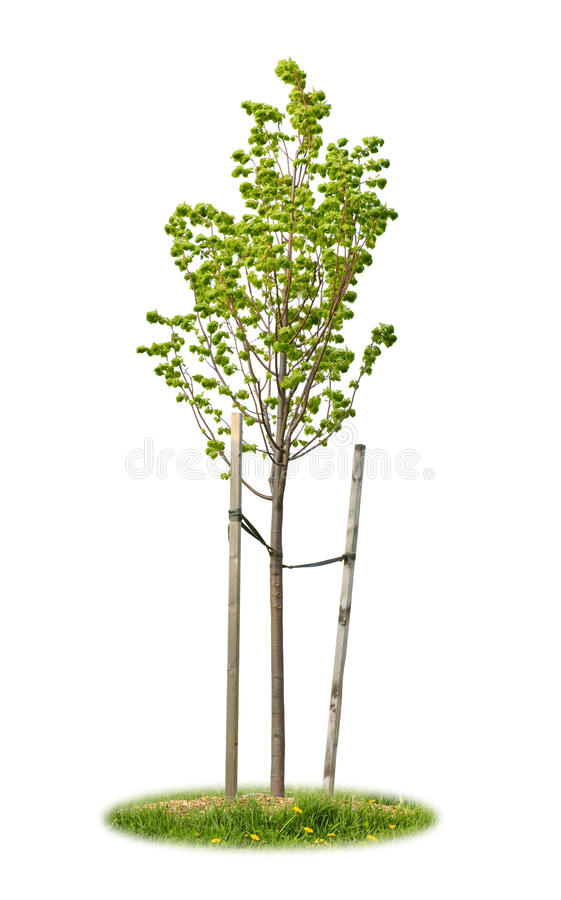 Geïsoleerdeo jonge lindeboom royalty-vrije stock afbeelding