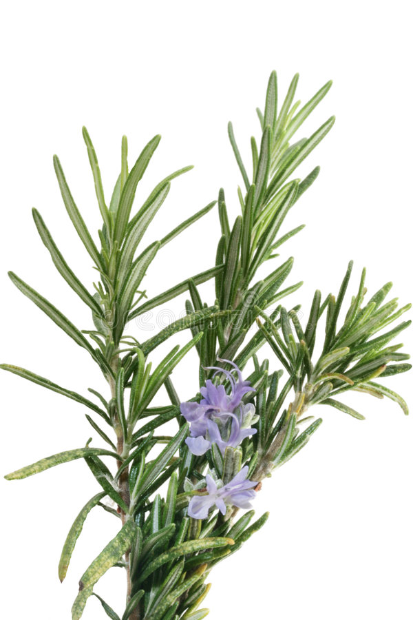 Geïsoleerdeo Rosemary met bloemen stock fotografie