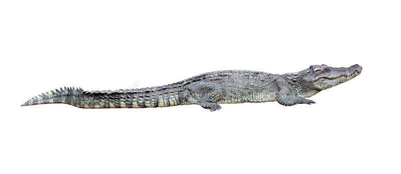 Geïsoleerdep krokodil stock foto's