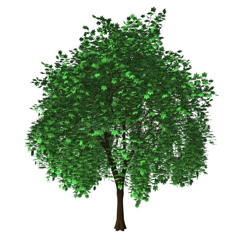 Geïsoleerder esdoornboom stock illustratie