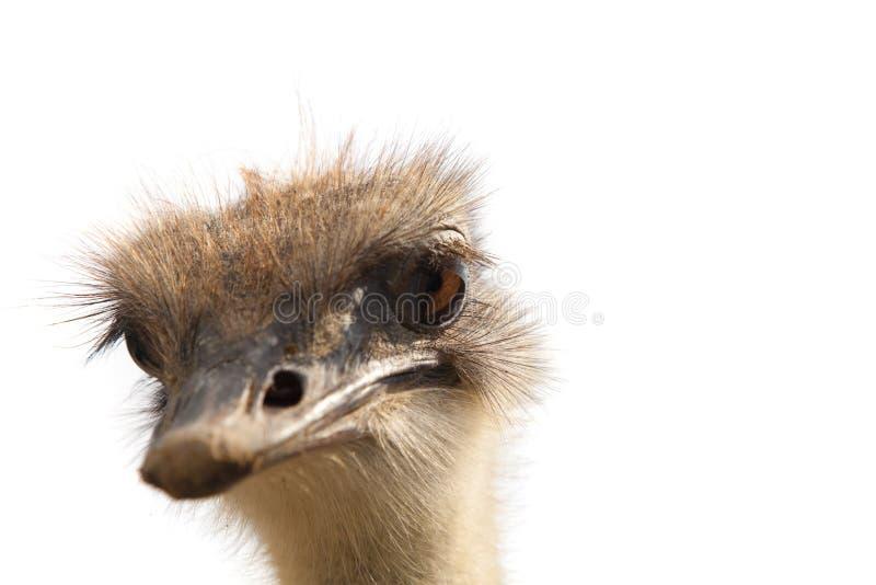 Geïsoleerder het hoofd van de struisvogel stock fotografie