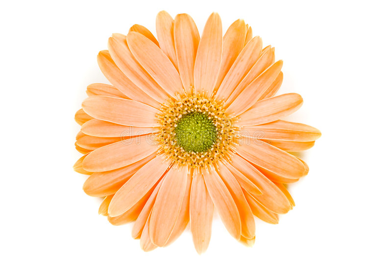 Geïsoleerder Oranje Gerber Daisy royalty-vrije stock afbeeldingen