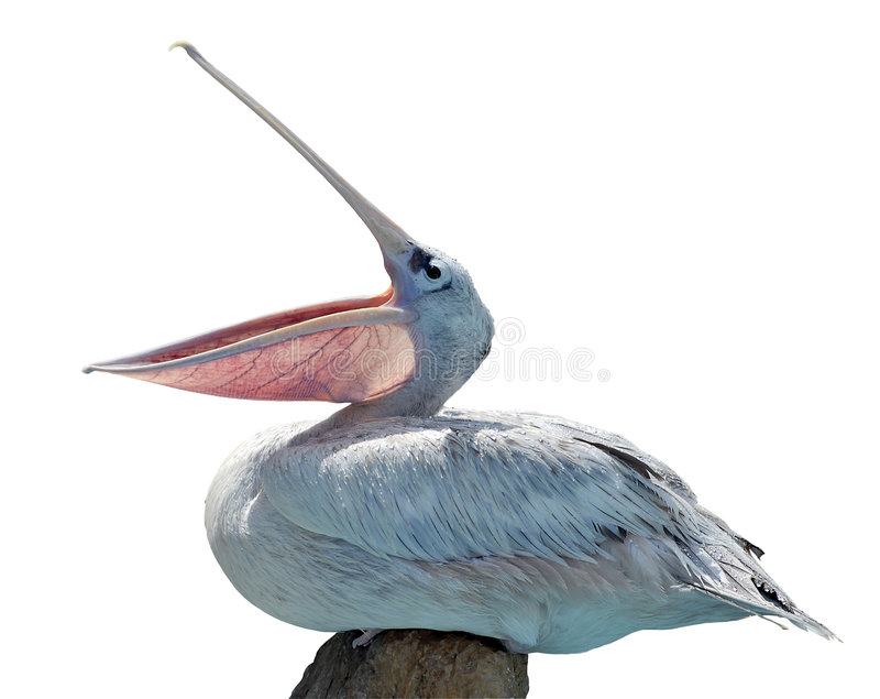 Geïsoleerder pelikaan stock foto's