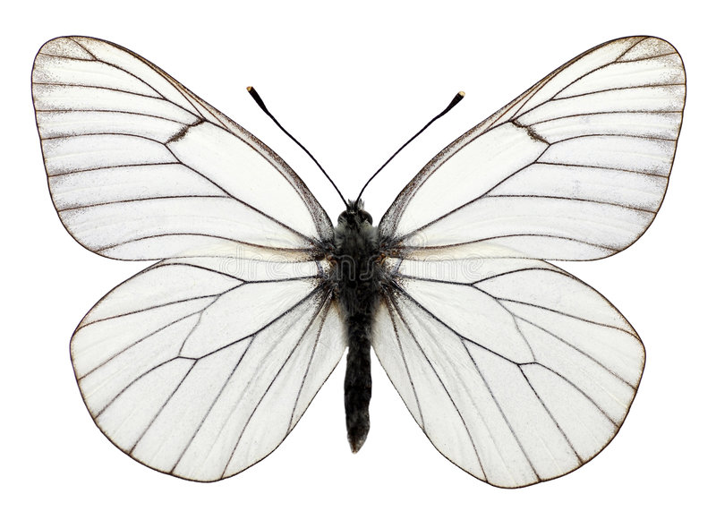 Geïsoleerder zwarte geaderde vlinder royalty-vrije illustratie
