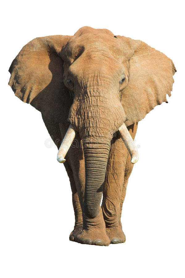 Geïsoleerdes olifant stock foto's