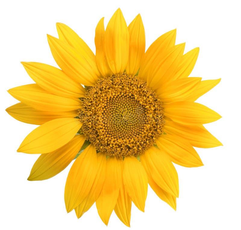 Geïsoleerdes zonnebloem royalty-vrije stock afbeeldingen