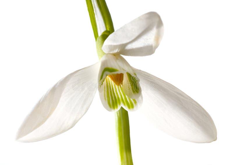 Geïsoleerdet de bloem van het sneeuwklokje royalty-vrije stock foto