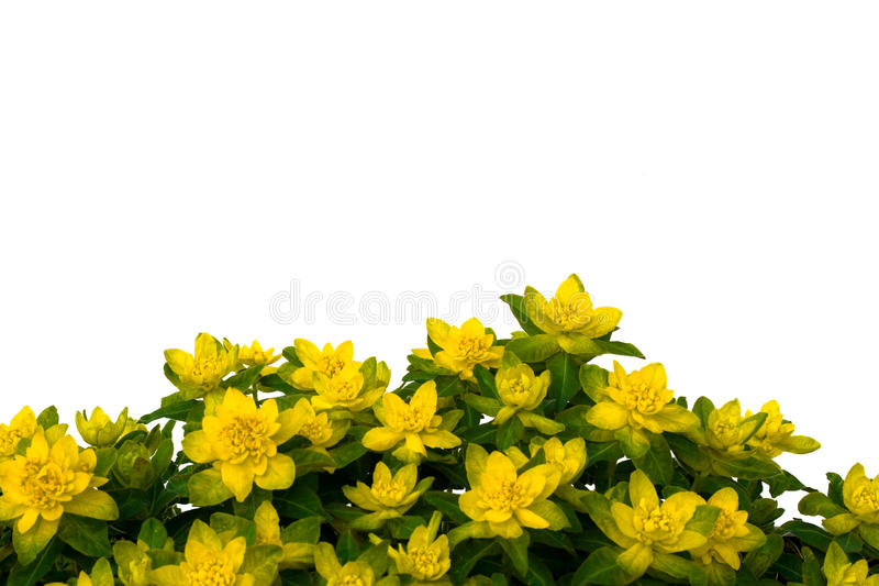 Geïsoleerdet gele bloemen op witte achtergrond. royalty-vrije stock foto's