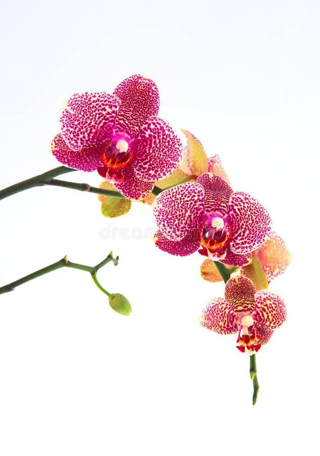 Geïsoleerdet orchidee royalty-vrije stock foto