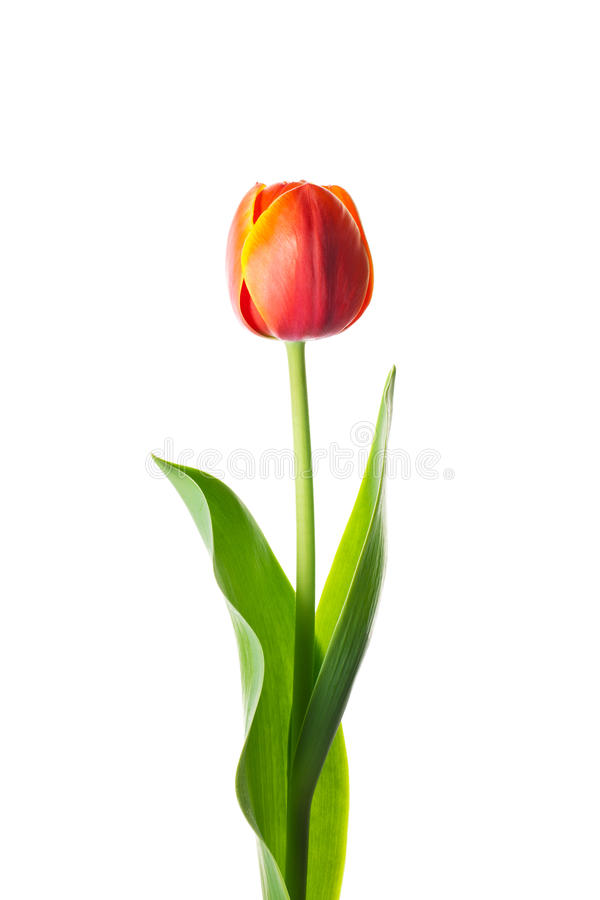 Geïsoleerdet tulpenbloem royalty-vrije stock afbeelding