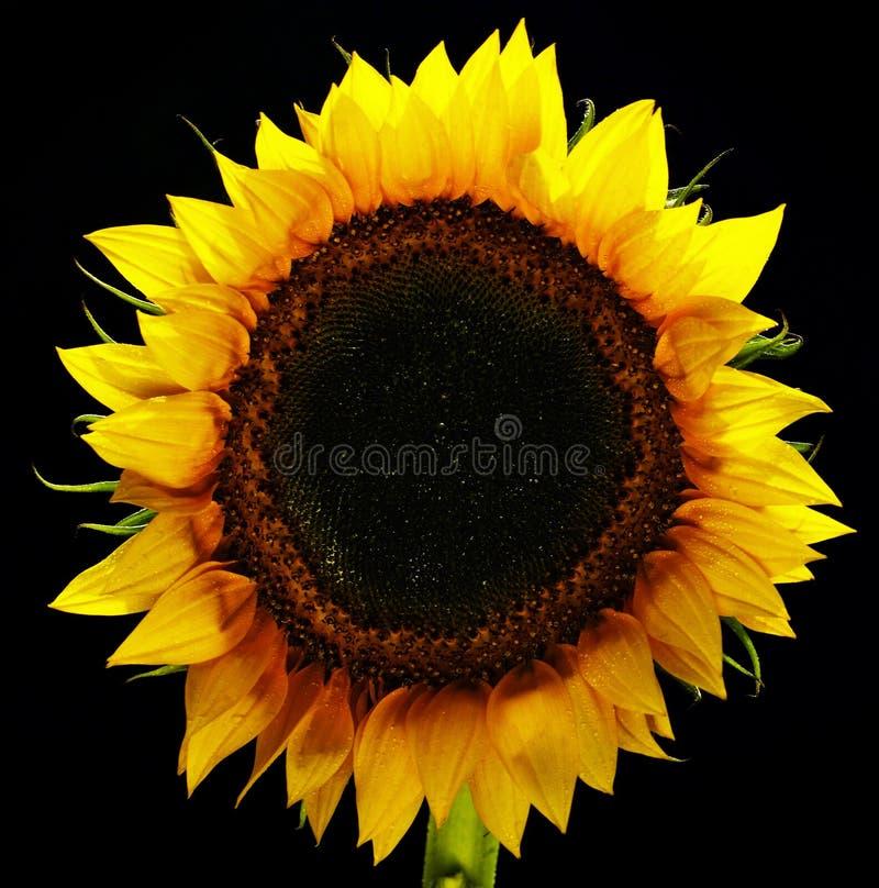 Geïsoleerdev zonnebloem royalty-vrije stock afbeelding