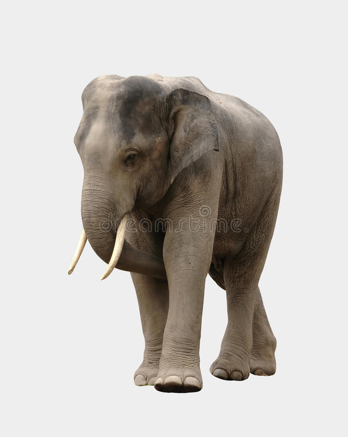 Geïsoleerdew de olifant van Azië stock fotografie