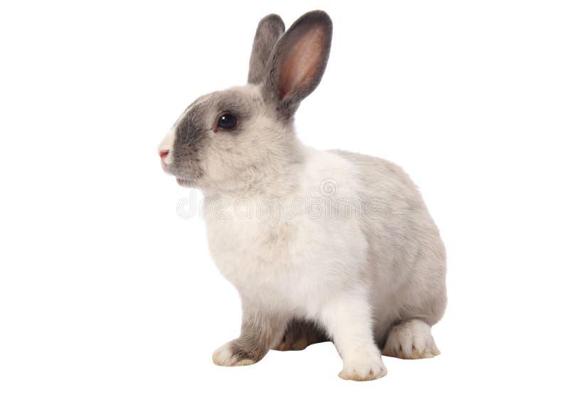 Geïsoleerdew het Konijn van het konijntje royalty-vrije stock fotografie