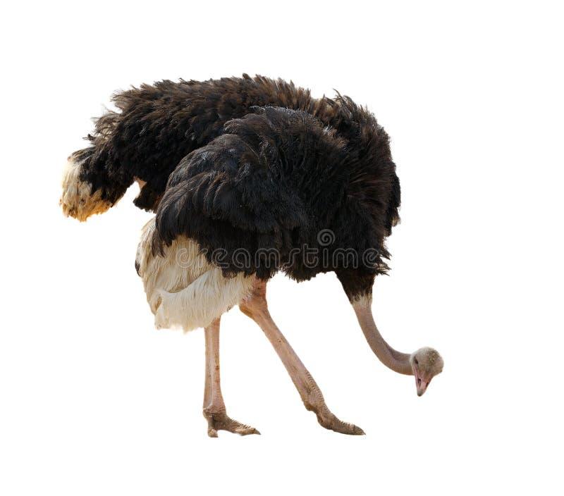 Geïsoleerdew struisvogel,