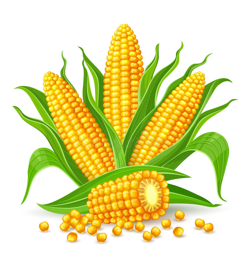 Geïsoleerdez maïskolven vector illustratie