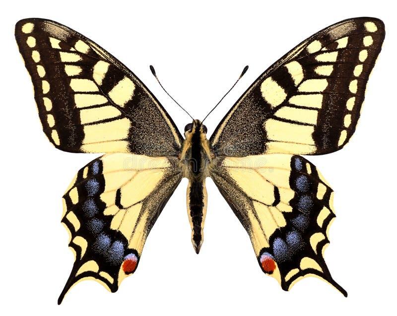 Geïsoleerdh swallowtail stock foto