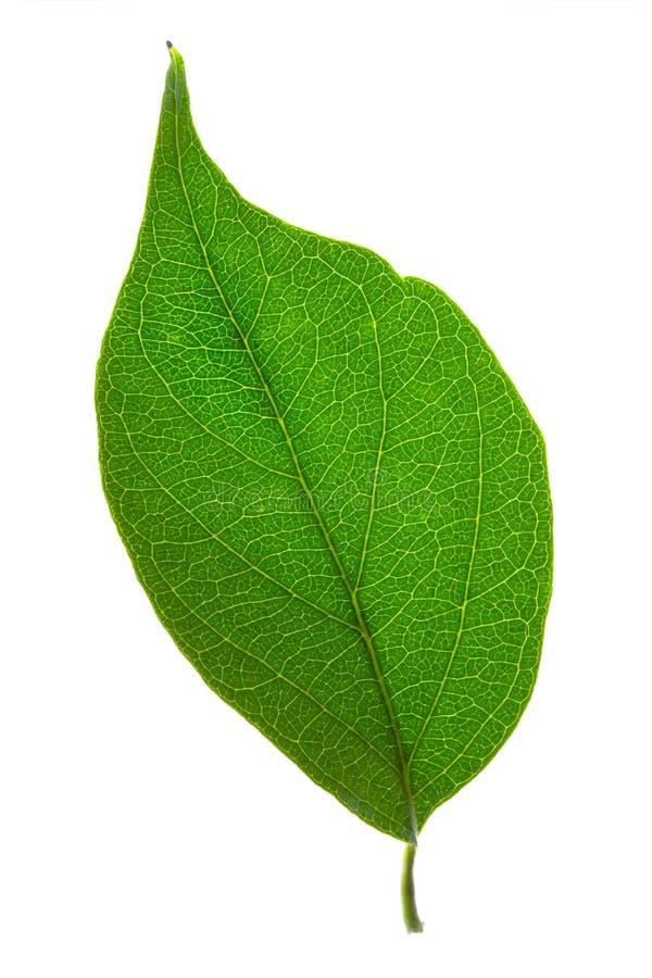 Geïsoleerdp groen blad royalty-vrije stock foto's