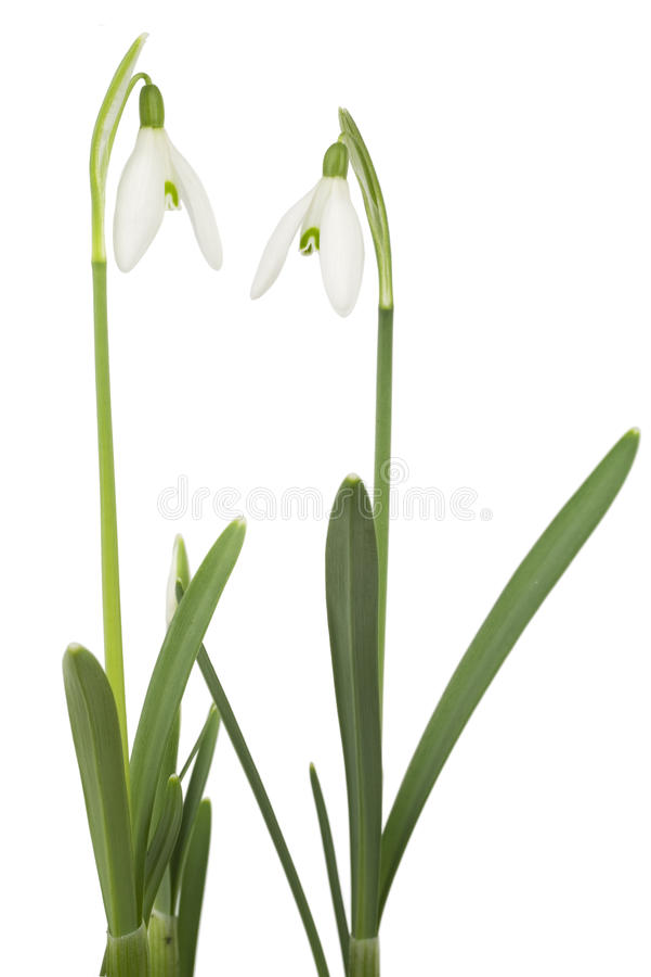 Geïsoleerdp sneeuwklokje, de lentebloem stock fotografie
