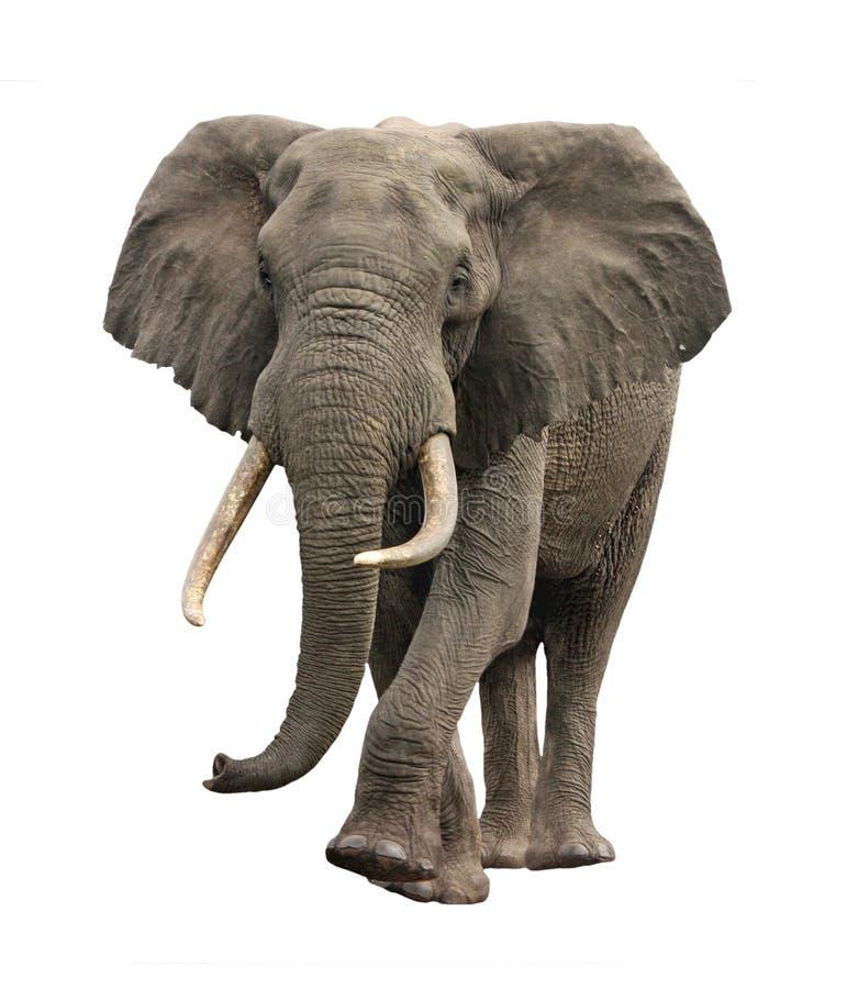 GeïsoleerdT naderbij komen van de olifant royalty-vrije stock afbeeldingen