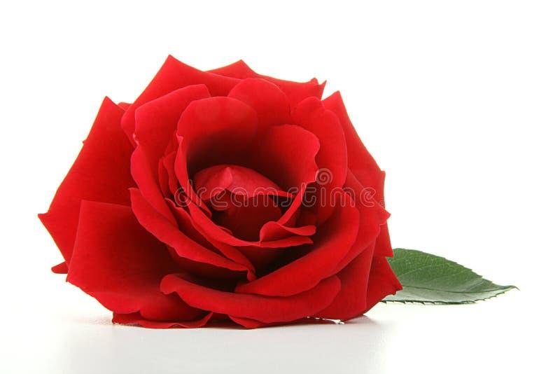 Geïsoleerdt nam bloem toe royalty-vrije stock afbeeldingen
