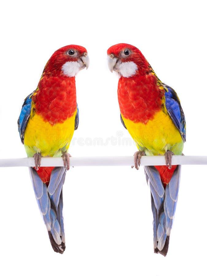 Ge?soleerde de papegaai van twee papegaairosella royalty-vrije stock foto's