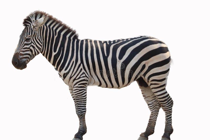 Ge?soleerde zebra royalty-vrije stock foto