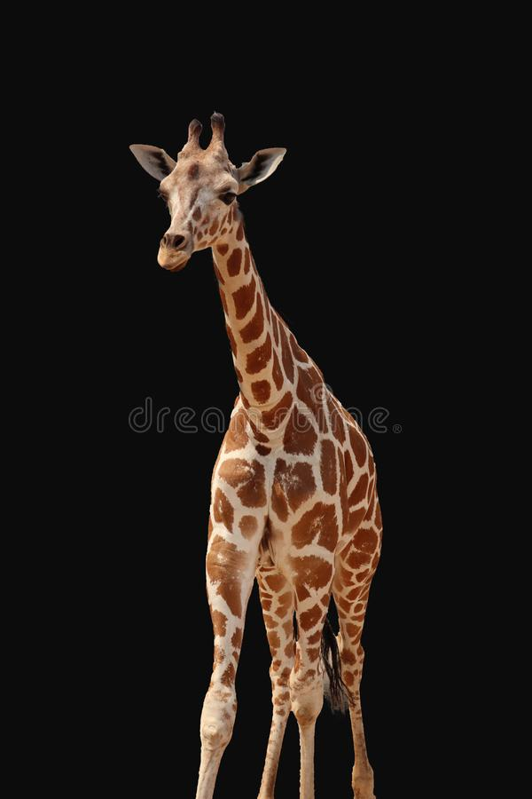 Ge?soleerded giraf royalty-vrije stock afbeeldingen
