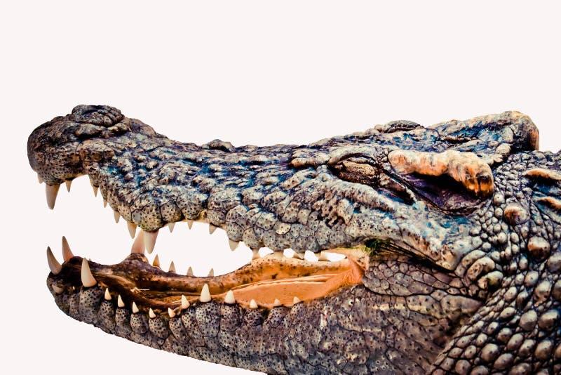 Ge?soleerdeR krokodil stock afbeeldingen