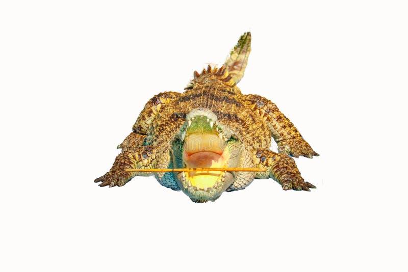 Ge?soleerdeR krokodil stock afbeelding