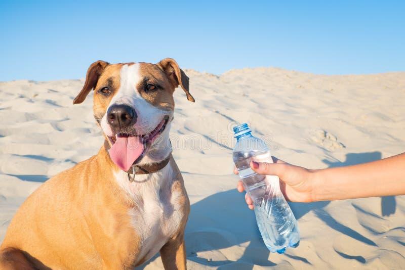 Ge vatten till en hund Kvinnlig handhållflaska av vatten för en t arkivfoto