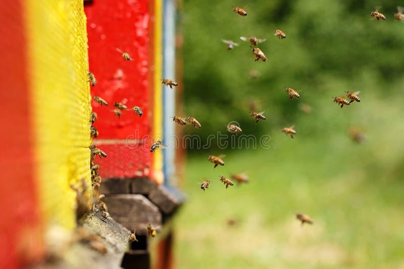 Download Geacclimatiseerde Honingbijen Die Naar Hun Bijenstal Terugkeren Stock Foto - Afbeelding bestaande uit bijenkorf, gezond: 54076846