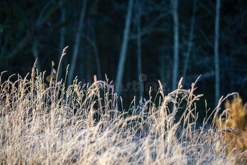 a geada cobriu as folhas da grama e da árvore na luz ensolarada da manhã do inverno fotografia de stock royalty free