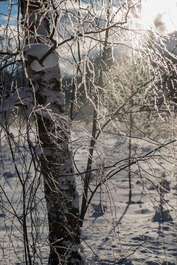 a geada cobriu as folhas dos ramos de árvore da grama e do vidoeiro na luz ensolarada da manhã do inverno fotografia de stock royalty free