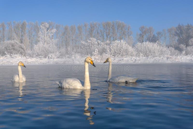Geada da geada do inverno do lago swans imagens de stock