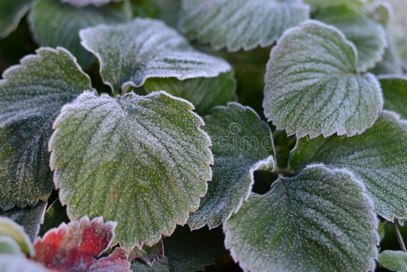 Geada da geada nas folhas Frost nas folhas da morango, fundo do outono foto de stock