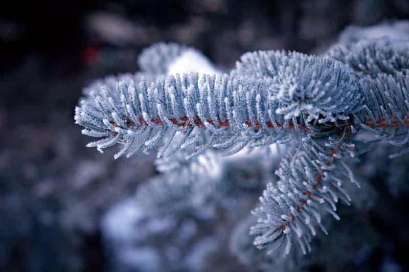 Geada Do Inverno Na árvore Spruce Fotos de Stock Royalty Free