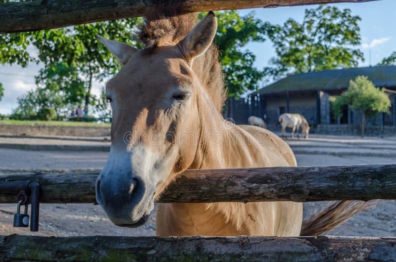 A geada severa trouxe a neve Tudo foi coberto com a neve branca, macia Caballus do przewalskii do Equus, cavalo selvagem Mongolia imagens de stock