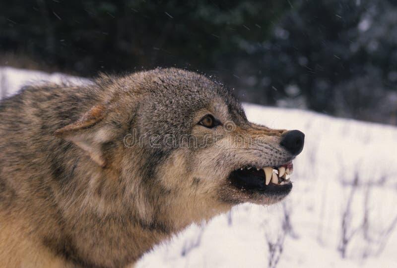 Geageerde Grijze Wolf stock fotografie