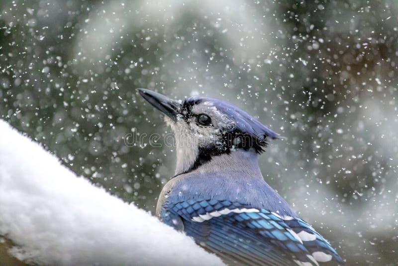 Geai bleu dans une tempête de neige images stock