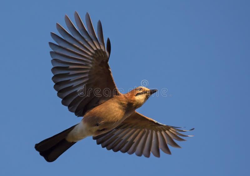 Geai eurasien volant en ciel bleu avec les ailes et la queue étirées photo libre de droits