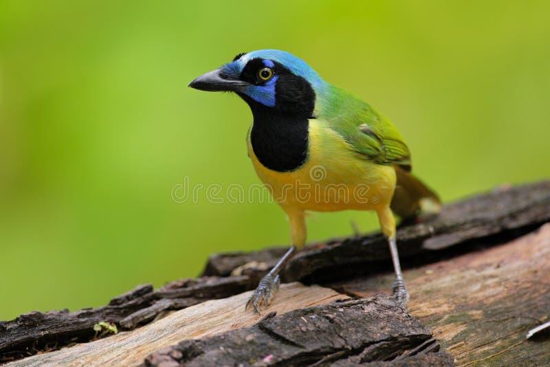 Geai jaune de vert d'oiseau, yncas de Cyanocorax, nature sauvage, Belize photographie stock