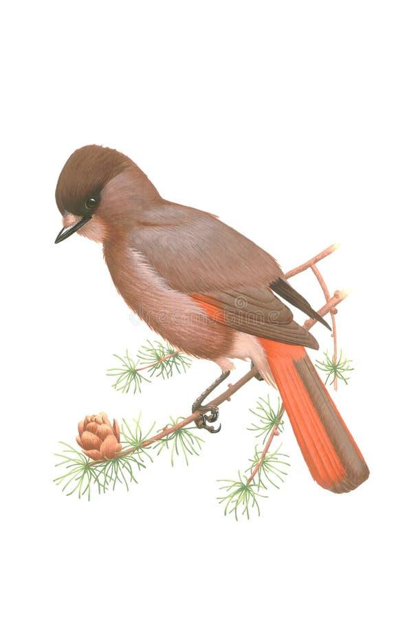 Geai sibérien (infaustus de Perisoreus) sur une branche de mélèze illustration libre de droits