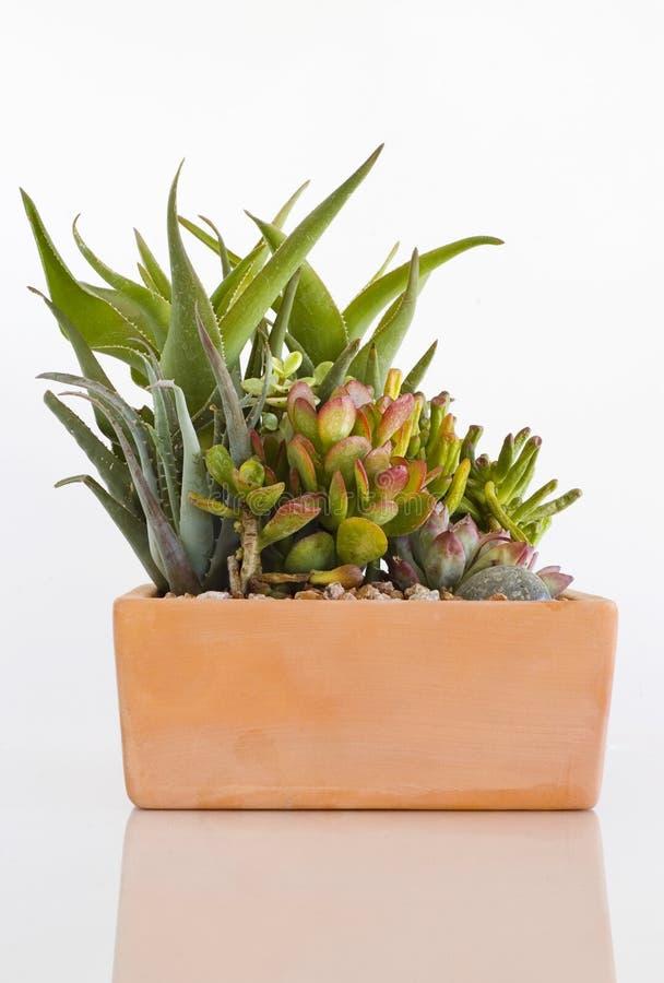 Geassorteerde Ingemaakte Cactussen op Wit stock afbeelding