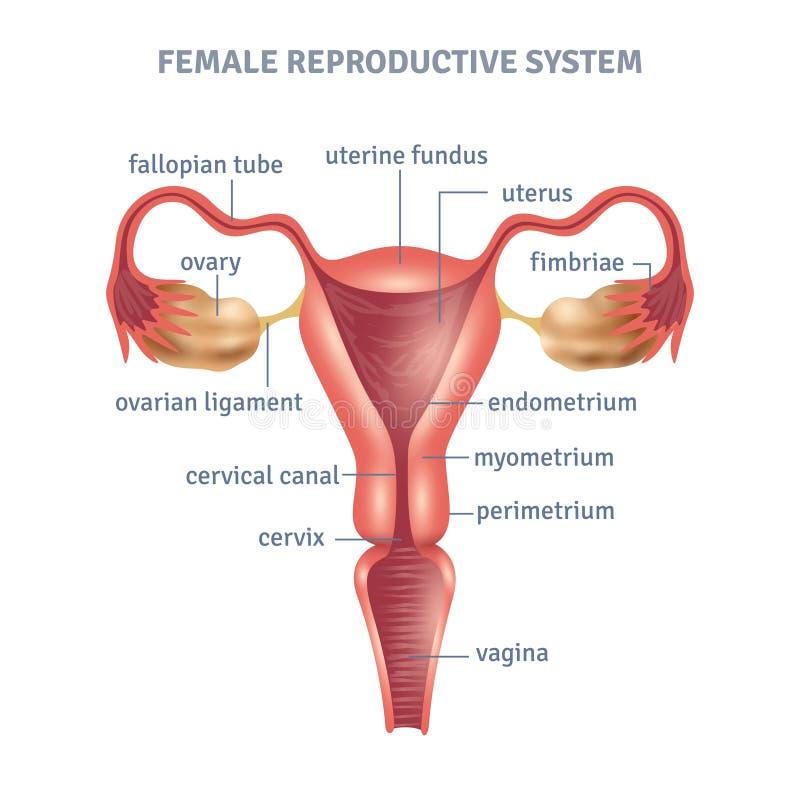 Atemberaubend Ovarien Und Gebärmutter Fotos - Menschliche Anatomie ...